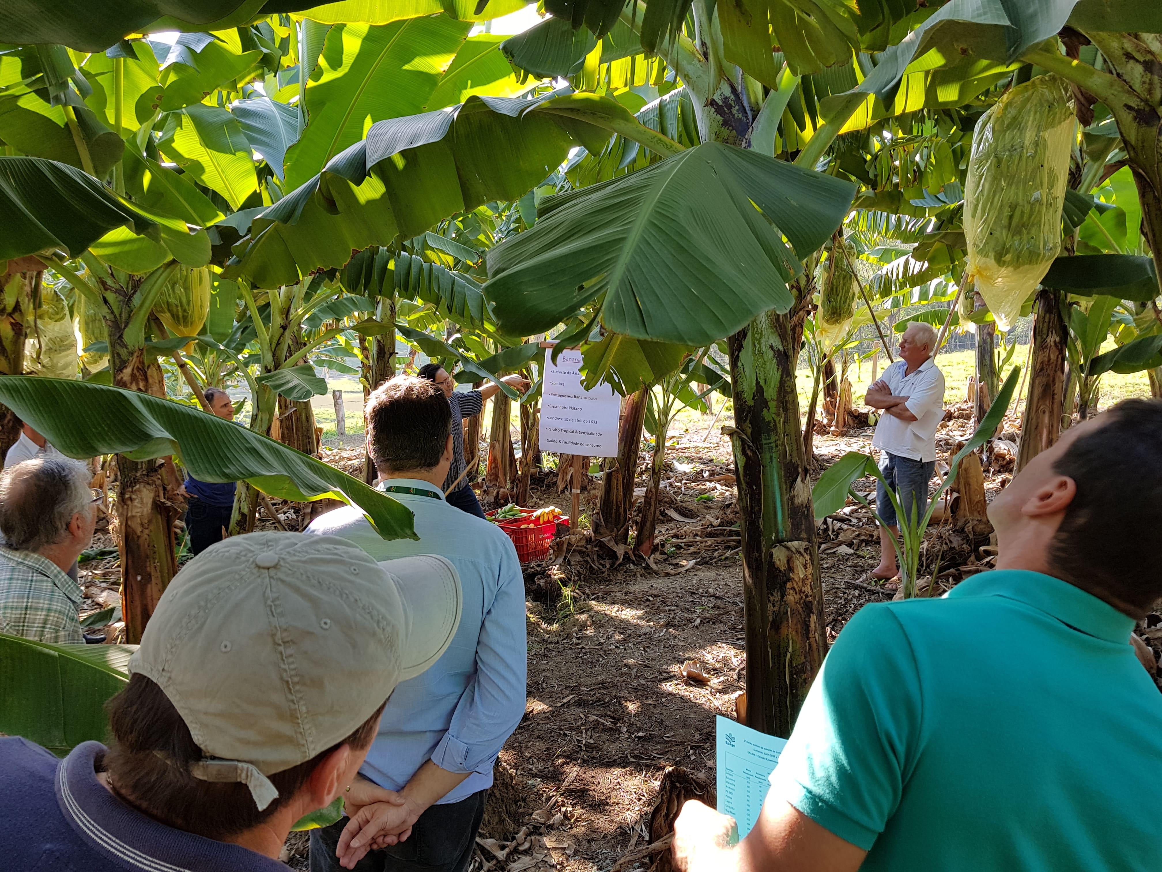 Gerência de Agricultura e Agronegócio de Criciúma promove lançamento da 3ª Festa da Banana